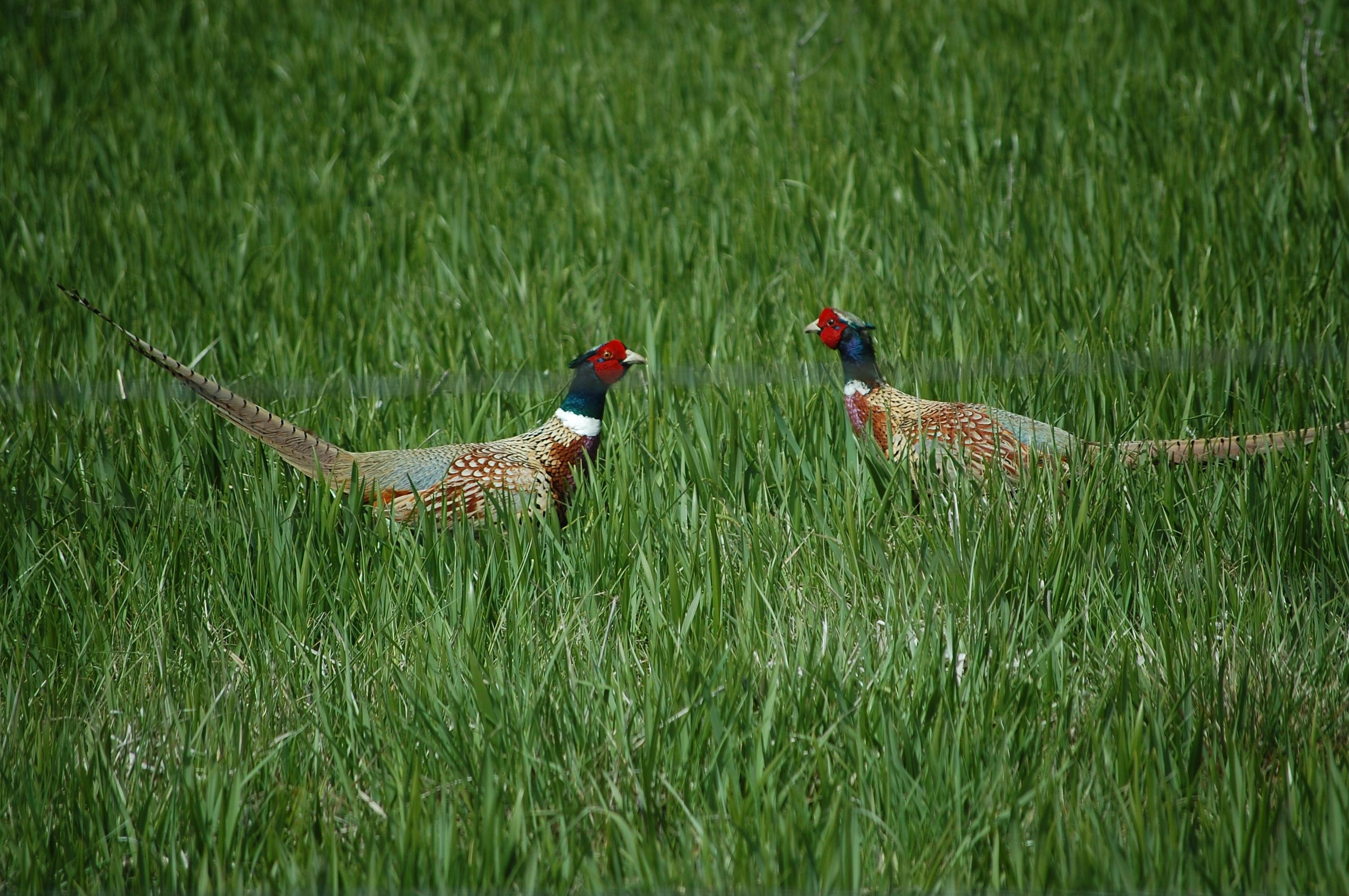Pheasants 012